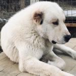 Туркменский волкодав Алабай Довлет Е-Ак Шир